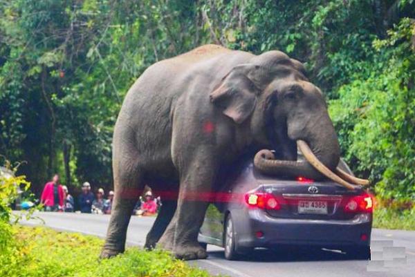 تصویر استراحت یک فیل روی سقف خودرویی در تایلند پربازدید شد