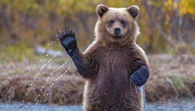 فیلم گرفتن از خرس قهوهای در فاصله پنج متری با موبایل!