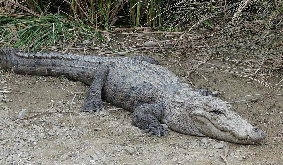 زنده گیری و انتقال یک سر تمساح به زیستگاهش