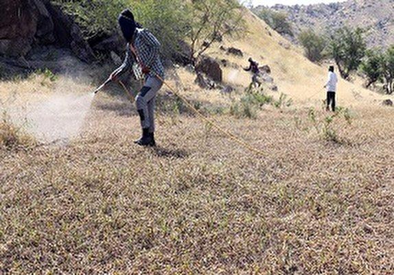 باشگاه خبرنگاران - سمپاشی مراتع فنوج علیه ملخ صحرایی