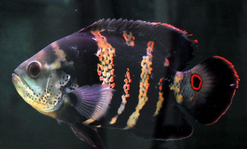 تصویر شگفتانگیزی از وجود نام الله روی پولک ماهی کوچک+ فیلم