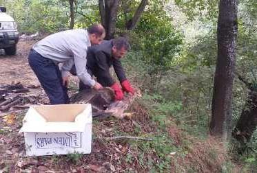 رهاسازی یک بهله عقاب شاهی در لنگرود