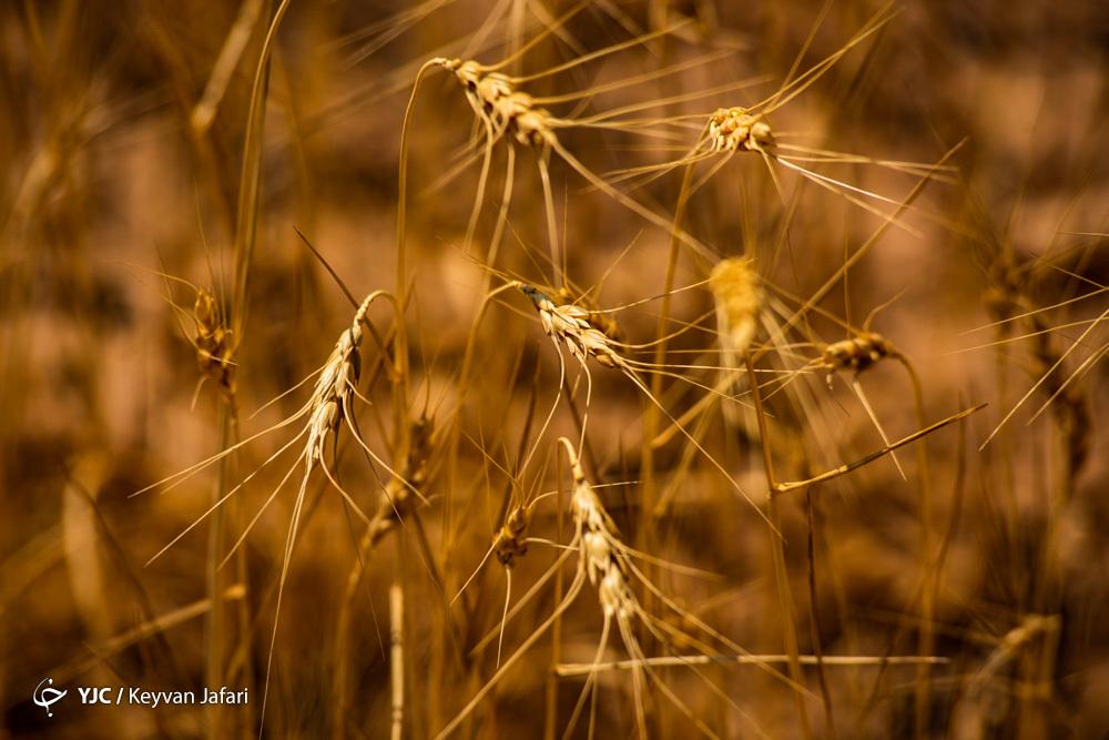 آخرین جزئیات واردات گندم به کشور/ رشد ۱۱۶ درصدی واردات برنج صحت ندارد