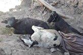 باشگاه خبرنگاران -تلف شدن ۳۲۵ راس دام کوچک و ۵۰ راس دام سنگین در شهرستان سراب