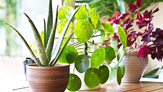 آیا گیاهان گلدانی کیفیت هوای خانه را بهبود میبخشند؟