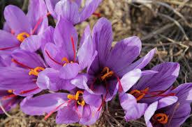 سود زعفران در جیب قاچاقچیان //بزرگترین تولیدکننده خودش جایگاهی در صادرات ندارد