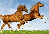 باشگاه خبرنگاران - شناسه دار کردن اسبها در گلستان