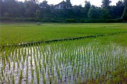 اما و اگرهای ممنوعیت کشت برنج در فلات مرکزی/ افزایش قیمت، زمینهساز کشت برنج در مناطق کمآب شد!