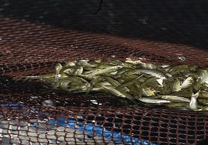۵۰۰ هزار قطعه بچه ماهی در منابع آبی کردستان رهاسازی شد