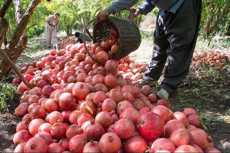 پیشبینی برداشت ۴۳ هزار تن محصول انار در جهرم