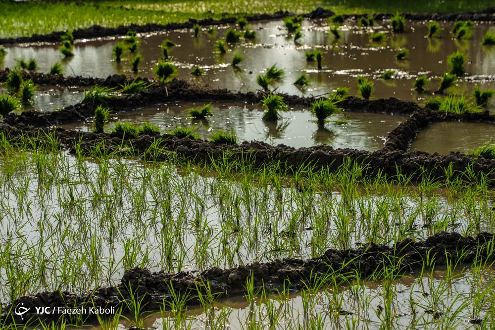 کشت برنج در استان های غیر شمالی ایرادی ندارد/ اما و اگرهای ممنوعیت کشت برنج در استان های غیر شمالی/ انتقاد مسئولان به ممنوعیت کشت برنج در استان های غیر شمالی/ ممنوعیت کشت برنج در سال پربارشی توجیه ندارد
