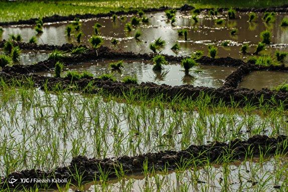 باشگاه خبرنگاران - اما و اگرهای ممنوعیت کشت برنج در فلات مرکزی/ افزایش قیمت، زمینهساز کشت برنج در مناطق کمآب شد!