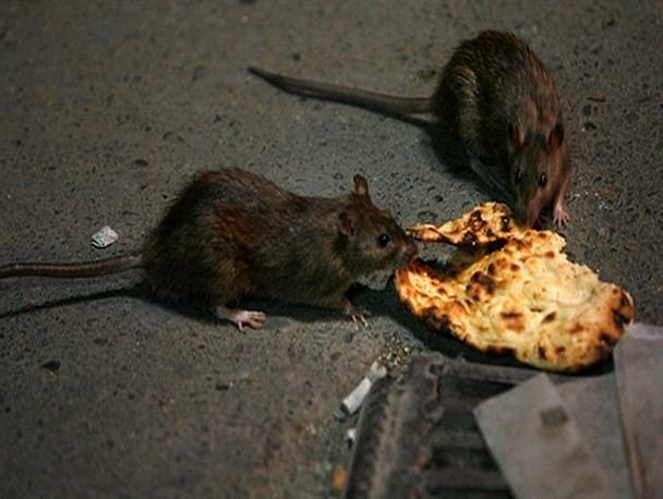 خوش گذرانی موشها در خیابان امام خمینی مشهد