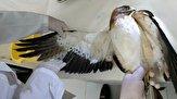 باشگاه خبرنگاران -تیمار ورهاسازی چهار بُهلِه پرنده شکاری در بوشهر