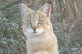 باشگاه خبرنگاران -رویت یک قلاده گربه جنگلی در شهداد