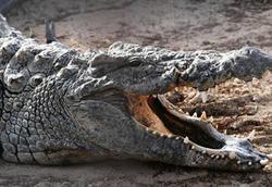 تمساح دزدی که طعمه سلطان جنگل را ربود + فیلم