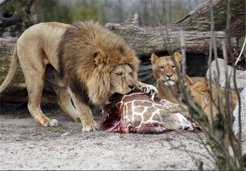 شیرهای باغ وحش ارم روزی چند کیلو گوشت میخورند؟
