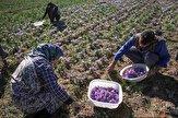 باشگاه خبرنگاران -پیش بینی برداشت و تولید یک تن زعفران از سطح مزارع استان مرکزی