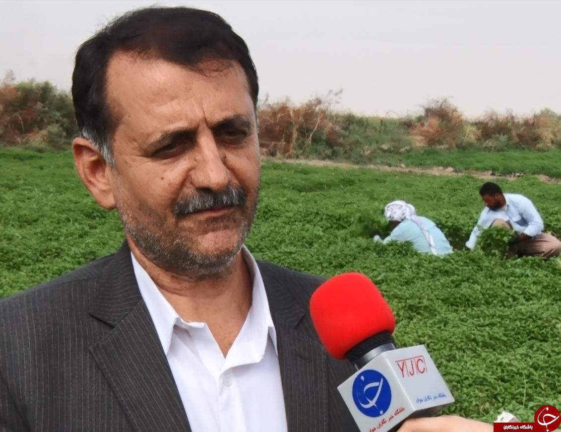 حمیدیه، قلب سبز خوزستان/برگی سبز که ارز میآورد+فیلم