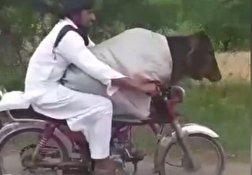 باشگاه خبرنگاران - قاچاق گاو از هند به پاکستان با موتورسیکلت! + فیلم