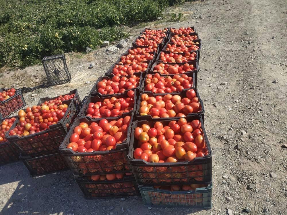 آغاز برداشت گوجه خارج از فصل در شهرستان فنوج