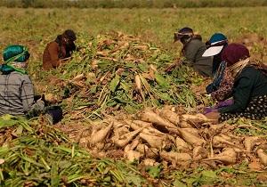 ۱۶۰ هزار تن چغندر قند از مزارع استان همدان برداشت شد