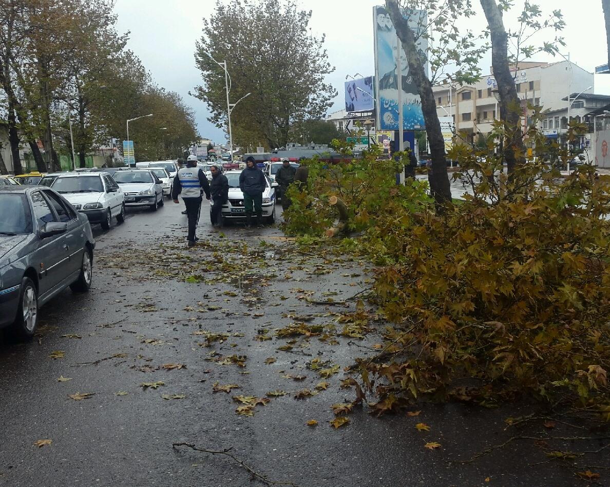سقوط درخت در خیابان تکاوران بندرانزلی