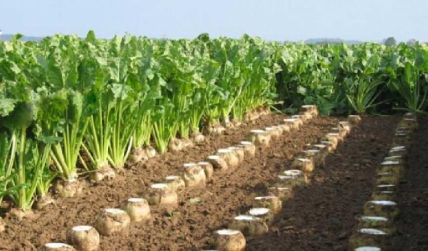 رشد ۲۰۰ درصدی کشت چغندر در شهرستان سرپل ذهاب