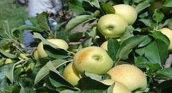 برداشت سیب از یکهزار هکتار از باغات شهرستان سلطانیه آغازشد
