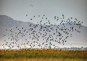 مشاهده ۷۰۰ قطعه پرنده کنار آبزی در تالاب «آبشینه» همدان