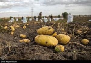 برداشت ۸۹۵ هزار و ۸۵۰ تن سیب زمینی در استان همدان