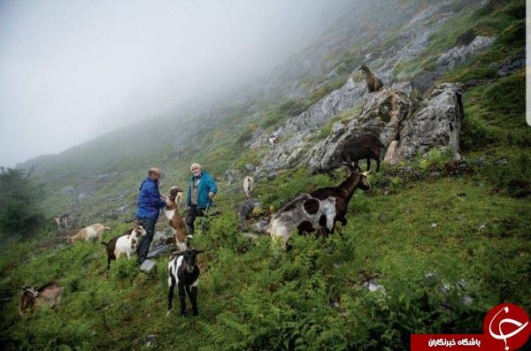 عکس منتخب نشنال جئوگرافیک از چرای گوسفندان در طبیعتی بکر
