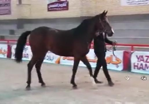 انتخاب زیباترین اسبهای اصیل ایرانی، رقایتی جذاب در شهرستان اردکان + فیلم
