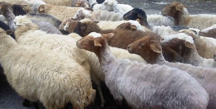 کشف و ضبط ۹۰ گوسفند قاچاق