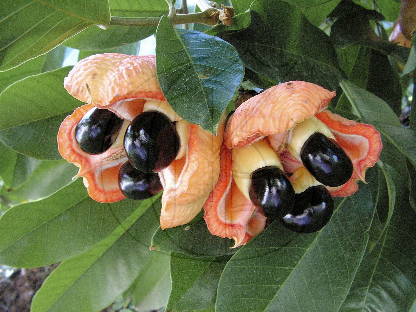 گیاهانی که باعث ایجاد فلج ، مرگ و میر در جمعیت هایی با سوء تغذیه می شوند