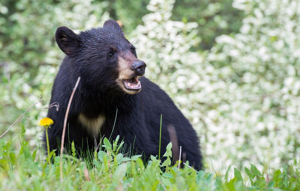 خرس سیاه چوپان نیکشهری را مجروح کرد