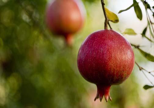 نگاه جهانی به یاقوت چرم پوش ایران /فارس، برترین تولید کننده انار