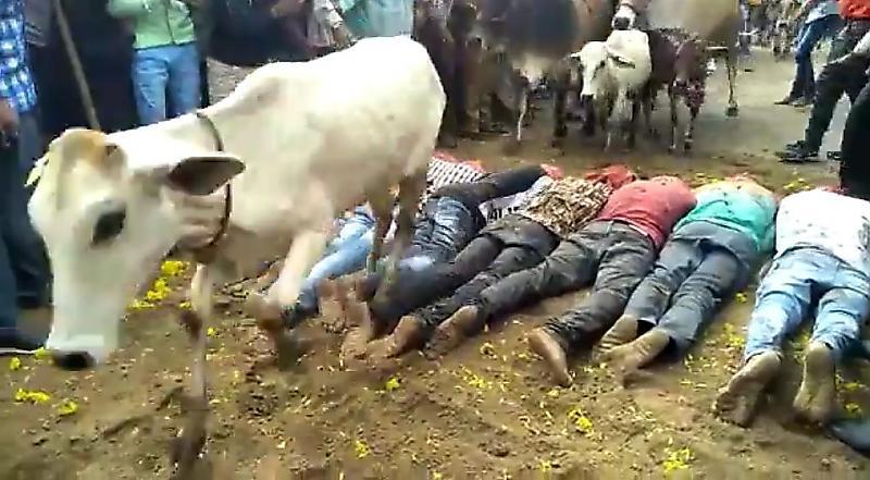 باز هم مقدس شمردن گاو برای هندیها، کاربران را شوکه کرد+فیلم