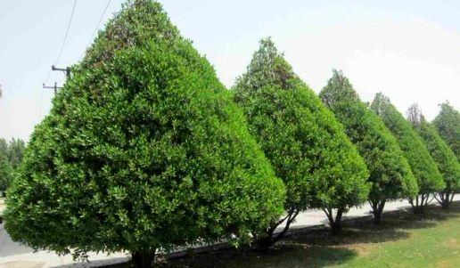 تاثیر به سزای گیاه کنوکارپوس درافزایش مشکلات تنفسی اهواز/ شهرداری گیاهان را هرس نکرده است