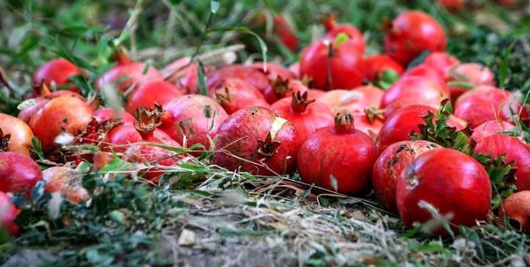 آغاز برداشت انار از باغات شهرستان سردشت/پیش بینی برداشت ۱۳۵۰ تن انار