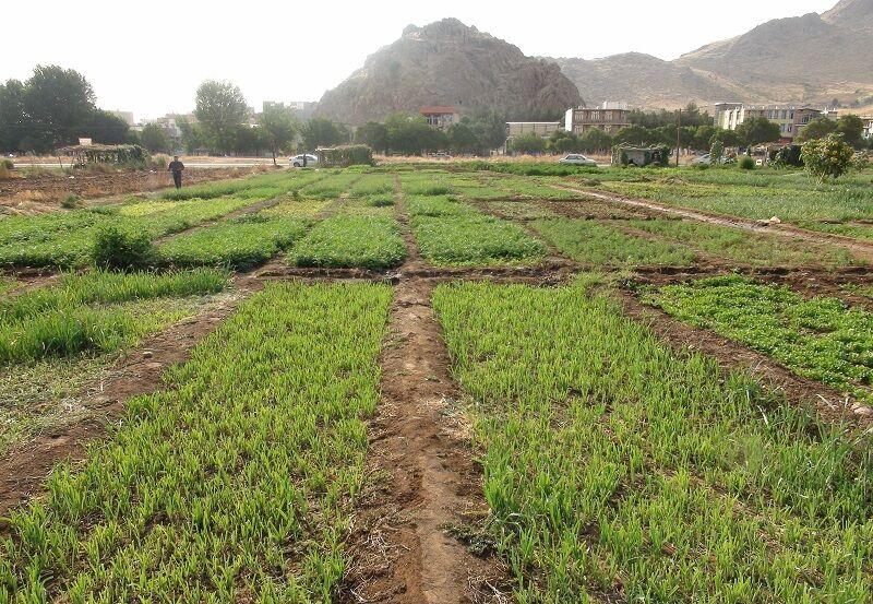 سالانه ۱۰ هزار تن سبزی در خاش برداشت میشود
