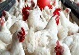 باشگاه خبرنگاران -کشف ۱۶۰۰ قطعه مرغ زنده قاچاق در بافق