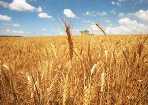 کاهش سطح زیر کشت گندم صحت ندارد