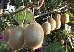 روابط عمومی/ایران رتبه چهارم در تولید کیوی را داراست/تولید بیش از ۳۰۰ هزار تن کیوی در کشور