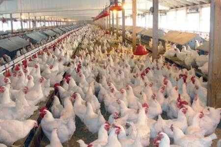 روز/زیان یک هزار و ۵۰۰ تومانی مرغداران در فروش/قیمت هر کیلو مرغ به ۱۱ هزار و ۸۰۰ تومان رسید