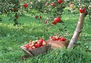انجام اقدامات پاییزه در باغات