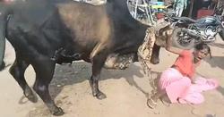 حمله گاو خشمگین به ۳۶ نفر + فیلم