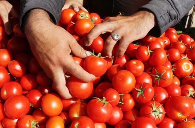 سرمای زودهنگام بر نوسان قیمت گوجه فرنگی دامن زد