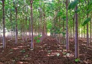 اجرای طرح تولید و پرورش در خت پالونیا برای اولین بار در استان