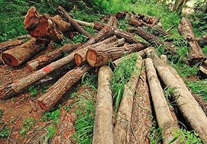 بلایی که گویی برای درختان تمامی ندارد تا کاشت طلای سرخ به روش هیدروپونیک + فیلم